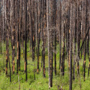 Global Warming Cited as Wildfires Increase in Fragile Boreal Forest