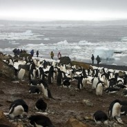 Penguin disaster as only two chicks survive from colony of 40,000