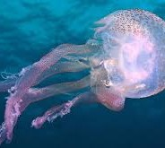 What do Jellyfish teach us about climate change?